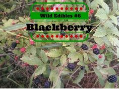 Wild Edibles #6 Blackberry You might learn some things you didn't know about blackberry.