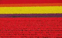 Keukenhof, Holanda - Keukenhof é também conhecida como o Jardim da Europa. Quando foi criado, em 1949, o objetivo era ter uma exposição de flores onde floricultures de todo o país e da Europa poderiam mostrar seus produtos. Mas a ideia deu tão certo que Keukenhof agora abre ao turismo da última semana de março até meados de maio