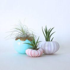 Urchin Air Plant Planter Trio with Air Plants