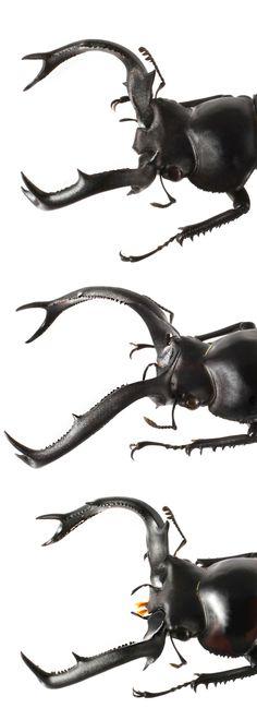 Rhaetulus crenatus; Rhaetulus didieri; Rhaetulus speciosus
