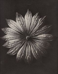 Karl Blossfeldt: Plant Study, Astrantia major, Thank you, birikforever. Karl Blossfeldt, Botanical Art, Botanical Illustration, Astrantia Major, Natural Form Art, Natural Structures, Seed Pods, Patterns In Nature, Mode Inspiration