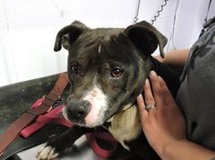 Meet Armon  FULLY VACCINATED, a Petfinder adoptable Pit Bull Terrier Dog | Waverly, OH | This dog is 2-3 years old, weighs 57 pounds and available for 2/28/2015This dog has been wormed for...