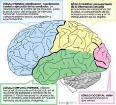 Human brain diagram lobes health medicine and anatomy reference slp section 1 self study assignments section last module ccuart Images