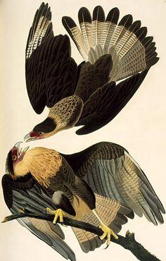 By John James Audubon (1785-1851), Crested Caracara, (Polyborus plancus, Caracara huppé), The Birds of America.