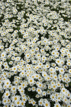 Oxeye Daisy Photograph - Oxeye Daises by Tim Gainey Daisy Wallpaper, Flower Phone Wallpaper, Spring Wallpaper, Sunflower Wallpaper, Cute Wallpaper Backgrounds, Aesthetic Backgrounds, Aesthetic Wallpapers, Arte Hippy, Flower Aesthetic