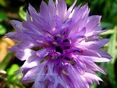 Lavender Cornflower In the Sun