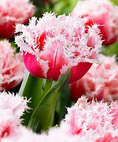 Frynset tulipan 'Queensland'