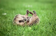 hedgehog in the grass...