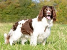 Chewing is an important activity for puppies. Which puppy chew toys will safely satisfy your dog? Learn 9 picks for good chew toys for puppies. English Springer Spaniel, Working Springer Spaniel, Springer Spaniel Welpen, Springer Spaniel Puppies, Spaniel Dog, Spaniels, English Mastiff, Dog Breeds List, Pet Breeds