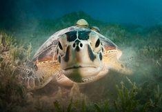 Green turtle (Chelonia mydas) by Csaba Tökölyi on 500px