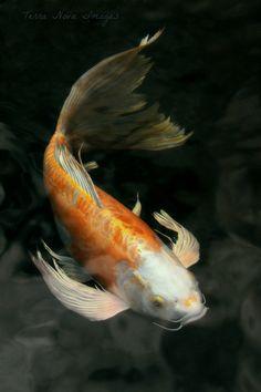 Coi Fish, Koi Fish Pond, Koi Art, Fish Art, Nova Image, Butterfly Koi, Photos Of Fish, Pond Painting, Koi Fish Tattoo
