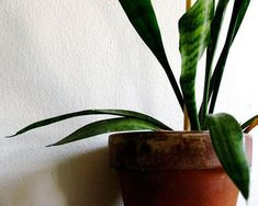 "Snake plant: ""Also known as mother-in-law's tongue, this plant is one of the best for filtering out formaldehyde, which is common in cleaning products, toilet paper, tissues and personal care products. Put one in your bathroom — it'll thrive with low light and steamy humid conditions while helping filter out air pollutants."" + 14 more houseplants to improve air quality."