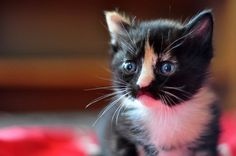 Wish it lived at my house.  I love the face!  cute foster calico new born kitten sputnik