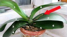 Tajemství, díky kterému Vám kupovaná orchidej pokvete celý rok! | Vychytávkov