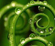 fern with water droplets Photographie Macro Nature, Fern Spores, Example Of Abstract, Abstract Photos, Spirals In Nature, Fern Frond, Fotografia Macro, Boho Home, Dew Drops