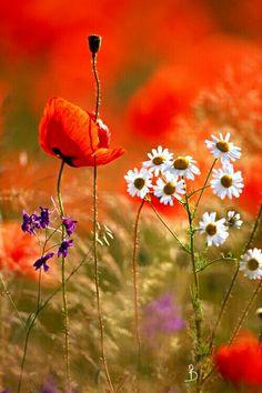 #papaveri#flower#