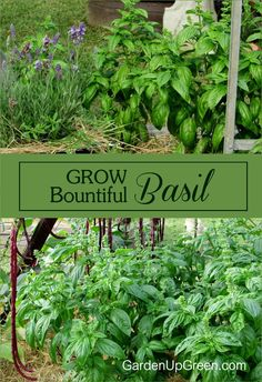 Discover how to Grow Amazing Bountiful Basil