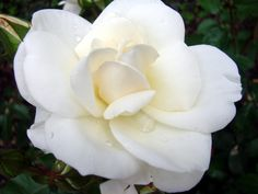 This white and  serene beauty of a gardenia...is all elegance and coolness....most probably like Marjorie herself...........Hillwood Estate/Marjorie Merriweather Post....DC