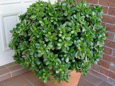 Crassula ovata (Money Tree, Jade Plant, Friendship Tree, Lucky Plant, Dollar Plant) → Plant characteristics and more photos at: http://www.worldofsucculents.com/?p=499