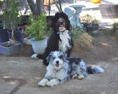 [Dogs] Breed: Australian Shepherd/Poodle mix, Gender: Male, Age: Baby, AussieDoodle Puppies - Los Angeles