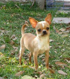 Chihuahua cabeza de manzana llamado el COCO