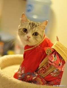This kimono is the cutest thing I've ever seen a cat wear. Normally I think dressed up animals look mostly silly and irritated, but this is awesome. I highly doubt River would approve.