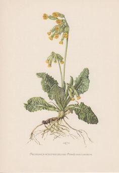 1953 Primula veris, Antique Botanical Print, Vintage Lithograph, Primula officinalis, Common Cowslip, Schlüsselblume, Botany, Wild Flowers