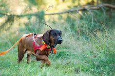 Hannoverscher Schweißhund - julia kauer jagdhunde fotografie