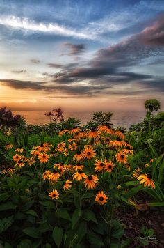✮ Black Eyed Susan's Sunset
