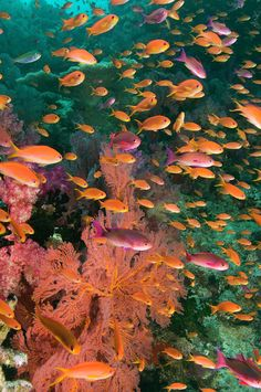 ✮ Schooling Fairy Basslets (pseudanthias Squamipinnis) Among Coral
