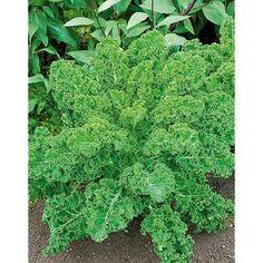 CHOU frisé F1 FROSTARA Chou Kale, Herbs, Flowers, Plant, British Names, Fried Cabbage, Apple, Herb, Royal Icing Flowers