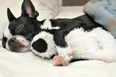 Beauty Rest #bostonterrier #puppy