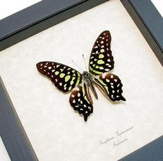 Real Framed Green Spotted Triangle Butterfly by REALBUTTERFLYGIFTS, $39.99