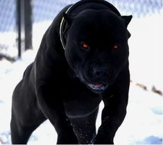This Pitbull looks like part dog part black panther All Black Pitbull, Black Pitbull Puppies, Black Doberman, Cute Dogs And Puppies, Big Dogs, Doggies, Bully Pitbull, Pitbull Terrier, Pitbull Noir