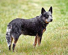 Australian Cattle Dog Breed History, Facts, & Information Summary