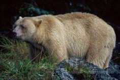 ghostbearphotography.com #ghostbear #spiritbear #kermodebear