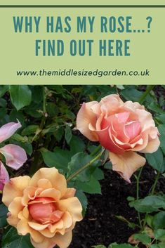 Head gardener Neil Miller from Hever Castle answers your top rose growing questions, from why hasn't my rose flowered to when do I feed my rose? #gardening #middlesizedgarden #roses #backyard Low Maintenance Garden Design, Growing Roses, Colorful Garden, Castle, Backyard, Gardening, Colour, This Or That Questions, Tips