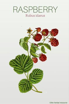 holistic remedies Raspberry Rubus idaeus - Information on the Medicinal Herb Raspberry (Rubus idaeus) and Its Health Benefits, Side Effects and Traditional Uses in Herbal Medicine Herbs For Health, Healthy Herbs, Herbal Plants, Medicinal Plants, Natural Medicine, Herbal Medicine, Herbal Remedies, Natural Remedies, Holistic Remedies