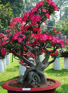 Adenium Flower    18/09/2016 8:02:59 PM GMT http://www.vntimes.info