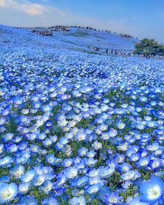 """baby blue-eyes""(Nemophila)- Hitachi Seaside Park in Hitachinaka, Ibaraki, Japan Beautiful World, Beautiful Gardens, Beautiful Places, Beautiful Pictures, Blue Flowers, Wild Flowers, Beautiful Flowers, Hitachi Seaside Park, Japon Tokyo"