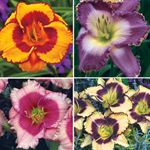 day lilies.http://www.michiganbulb.com/category/Perennials/3