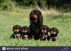 Image result for cavalier king charles spaniel black and tan