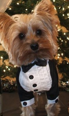 OMG I LOVE HIM!!!  SO ADORABLE! #Yorkie #wedding #dog