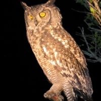 Spotted Eagle Owl - Bubo africanus