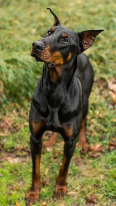 Cameo is a pretty, #doberman petite girl. We think she's about 4 years old and weighs 50 lbs. She showed up at someone's house and no one came to claim her or responded to their flyers. Cameo is very loving and affectionate, but we do feel like she was abused. She takes a little time to trust someone new, but once she does she'll be your best friend forever. She is really coming out of her shell in foster care and is enjoying playing with other #dogs. http://www.doggielife.com/KFSA1H