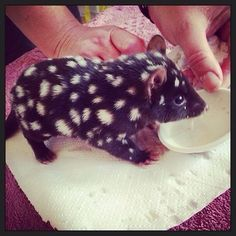 An orphaned Easter Quoll baby in Tasmania, island state of Australia. It is a marsupial; also, known as an Eastern Native Cat. An orphaned Easter Quoll baby in Tasmania, island state of Australia. It is a marsupial; also, known as an Eastern Native Cat. Unusual Animals, Rare Animals, Cute Baby Animals, Animals Beautiful, Animals And Pets, Funny Animals, Baby Pandas, Baby Giraffes, Baby Otters