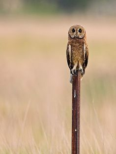 i look just like the stick...they will never see me..  Marsh Owl  Source: Flickr / wildafrica