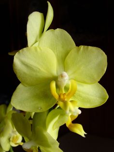 Orchid Yellow - Gallery - Systrella | pmp-art.com ? on black gesso canvas....hmmmm