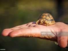 A hatchling leopard tortoise, Stigmachelys pardalis, on the hand of a man providing the perspective of size. Timbavati Nature Reserve, Mpumalanga Province, South Africa : ストックフォト