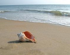 "Shell on the Beach in Outer Banks ~ I found 3 ""Conch Shells"" during our anniversary trip! They are unbelievable and not damaged!"